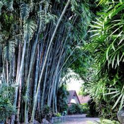 Bamboo grove around Studio 88 Artist Residency, Chiangmai